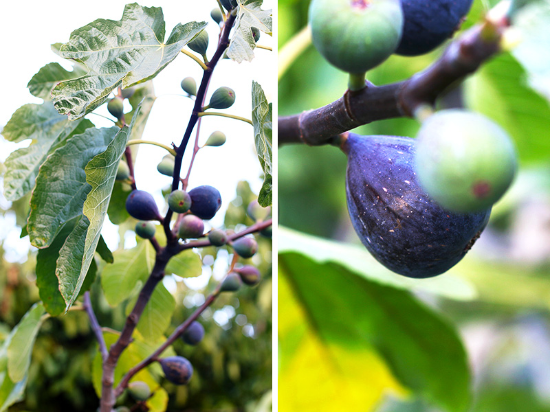 Figs really do grow on trees! September is the best month to harvest perfectly ripened figs.